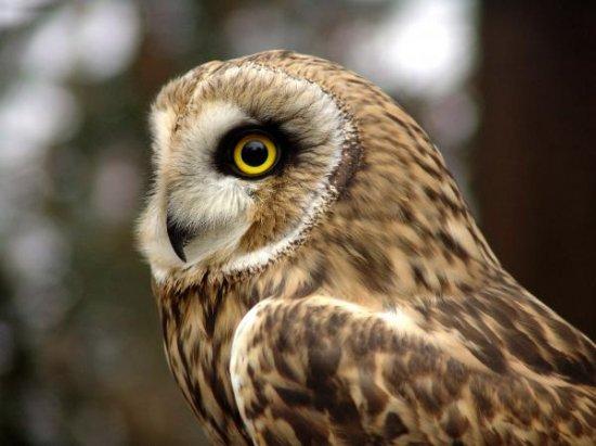 Болотные совы тихие птицы вследствие...