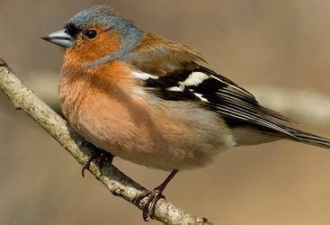 Зяблик — Fringilla coelebs - BirdsGuide